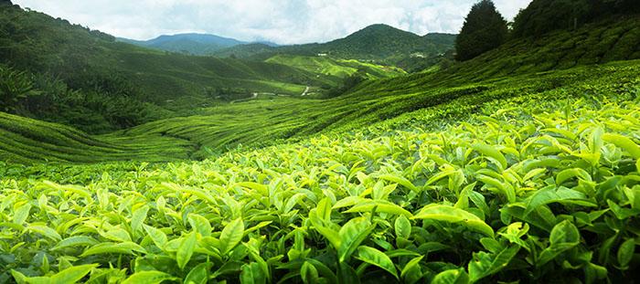 Çaykur Çay Tarımında Kimyasal Gübre İle Mücadele Edecek