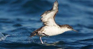 deniz kuslari kokularini cok sevdigi icin kirli plastik yiyor 310x165 - Deniz Kuşları Kokularını Çok Sevdiği İçin Kirli Plastik Yiyor