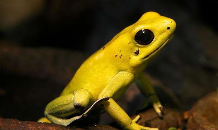 Kurbağa Zehrinden Nörotoksin Sentezlendi