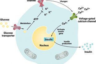 potansiyel diyabet terapisi kan sekerini kontrol eden muhendislik hucreleri 310x205 - Potansiyel Diyabet Terapisi: Kan Şekerini Kontrol Eden Mühendislik Hücreleri