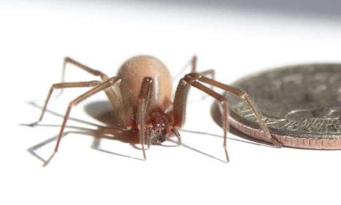 Ölümcül Örümceklerin Eşsiz Örme Tekniği Daha Sağlam Malzemeler İçin İlham Kaynağı Olabilir