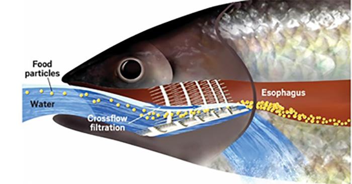 Balıklardan ilham alınarak membranlar kullanıldı, bu yolla petrol sızıntıları daha basit ve hızlı bir şekilde temizlendi.