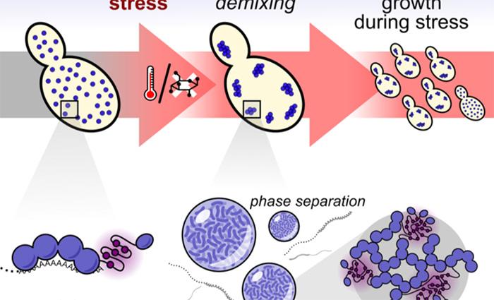 Hücrelerdeki Stresi Algılayan ve Cevap Veren Moleküller