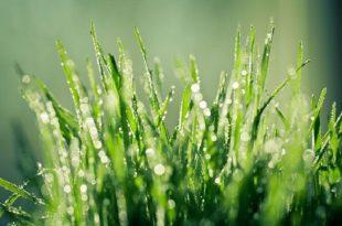 neden cimleriniz yagmur yagdıktan sonra daha yesil gorunur 310x205 - Neden Yağmur Yağdıktan Sonra Çimleriniz Daha Yeşil Görünür?