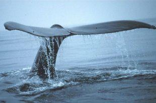 karbonu atmosferin disinda tutan balinalar 310x205 - Karbonu Atmosferin Dışında Tutan Balinalar