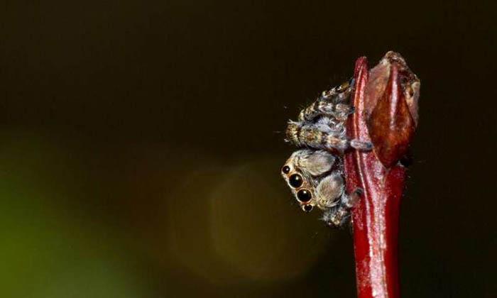 Örümceğin İpek Proteini ile Biyolojik İlaçlar Üretmek Mümkün