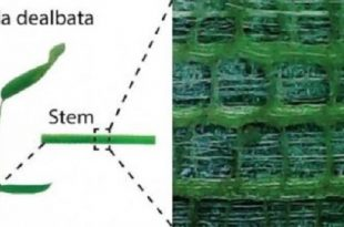bitki govdesinden esinlenen esnek elektronikler 310x205 - Bitki Gövdesinden Esinlenen Esnek Elektronikler