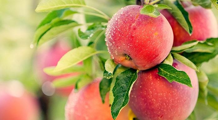 Elma Kabuğundaki Zararlı Kimyasallar Yıkandığı Halde Çıkmıyor