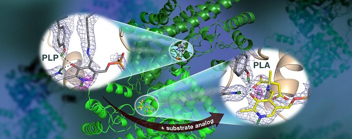 Nötronlar Vitamin B6 Bağımlı Enzim Aktivitesinin İlaçların Geliştirilmesinde Önemli Olduğunu Gözlemledi