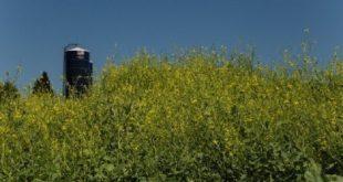 yagli tohumlardan biyoyakit mi 310x165 - Yağlı Tohumlardan Biyoyakıt mı ?