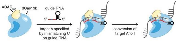 CRISPR Gen Düzenleyicisi DNA'nın Yanısıra Artık RNA'yı da Değiştirebilir