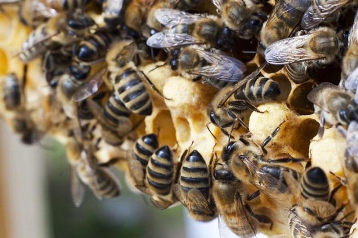 Seryum Oksit Nanopartikülleri, Bal Arılarında Biyokimyasal Değişime Neden Oluyor