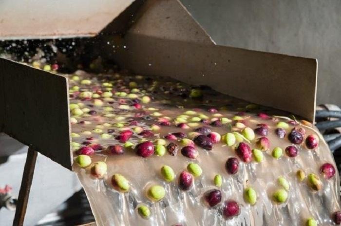 Zeytinyağı Fabrikalarının Kirletici Atık Suyu Biyolojik Gübre ve Biyolojik Yakıta Dönüştürülüyor