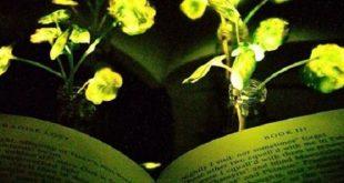 abdde bir grup bilim insani parlayan ve isik sacan bir bitki gelistirdi 310x165 - ABD'de Bir Grup Bilim İnsanı, Parlayan ve Işık Saçan Bir Bitki Geliştirdi
