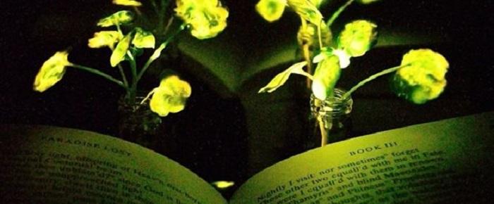 ABD'de Bir Grup Bilim İnsanı, Parlayan ve Işık Saçan Bir Bitki Geliştirdi