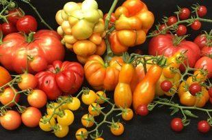 arastirmacilar genis ve agir domatesler olusmasini saglayan geni tarif etti 310x205 - Araştırmacılar, Geniş ve Ağır Domatesler Oluşmasını Sağlayan Geni Tarif Etti