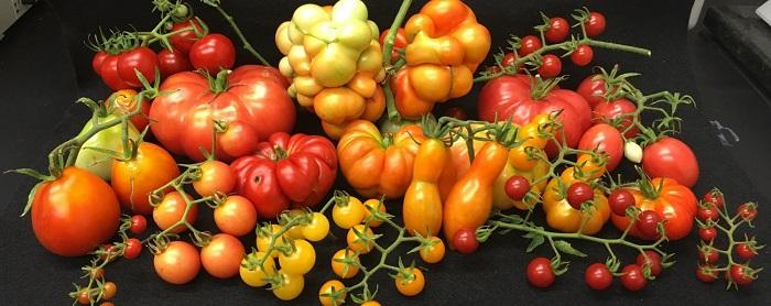 arastirmacilar genis ve agir domatesler olusmasini saglayan geni tarif etti - Araştırmacılar, Geniş ve Ağır Domatesler Oluşmasını Sağlayan Geni Tarif Etti