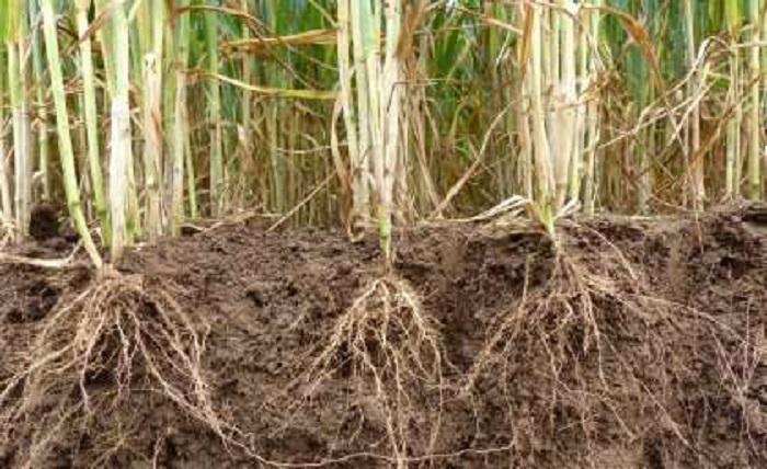 Tahıl Geninin Keşfi, Gıda Güvenliği Sağlıyor