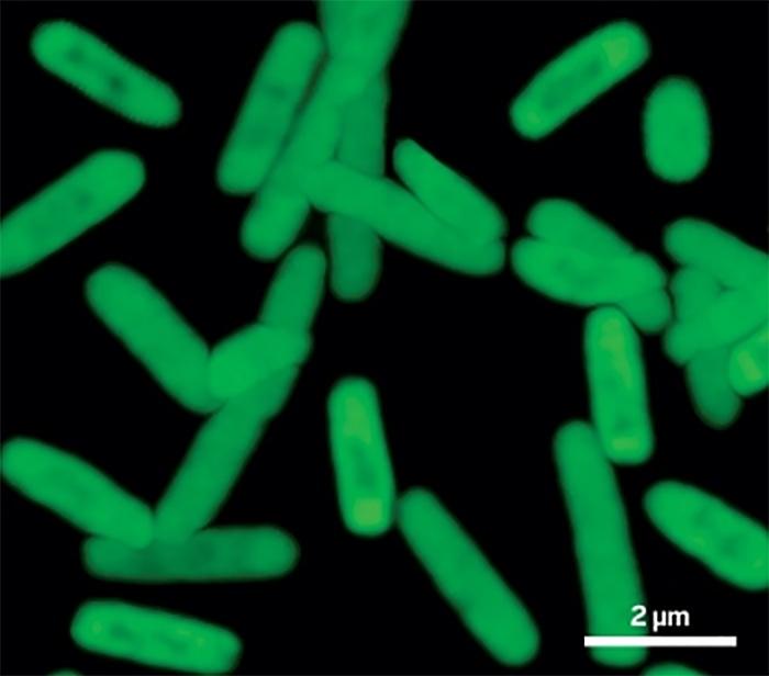 Kimyagerler, Yapay Proteinlerin Yapımında Gerekli Olan Yapay DNA'ları Kullanacak Bakteri Üretiyor