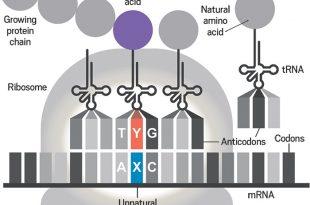 kimyagerler yapay proteinlerin yapiminda gerekli olan yapay dnalari kullanacak bakteri uretiyor 310x205 - Kimyagerler, Yapay Proteinlerin Yapımında Gerekli Olan Yapay DNA'ları Kullanacak Bakteri Üretiyor