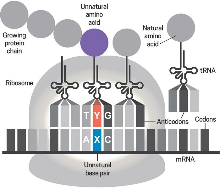 kimyagerler yapay proteinlerin yapiminda gerekli olan yapay dnalari kullanacak bakteri uretiyor - Kimyagerler, Yapay Proteinlerin Yapımında Gerekli Olan Yapay DNA'ları Kullanacak Bakteri Üretiyor