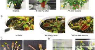 bitkiler de tipki insanlar gibi anesteziyle uyutulabiliyorlar 310x165 - Bitkiler de Tıpkı İnsanlar Gibi Anesteziyle Uyutulabiliyorlar