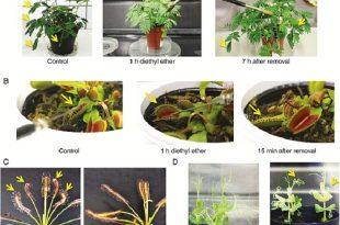 bitkiler de tipki insanlar gibi anesteziyle uyutulabiliyorlar 310x205 - Bitkiler de Tıpkı İnsanlar Gibi Anesteziyle Uyutulabiliyorlar