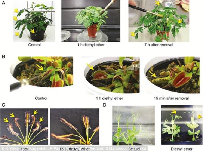 Bitkiler de Tıpkı İnsanlar Gibi Anesteziyle Uyutulabiliyorlar