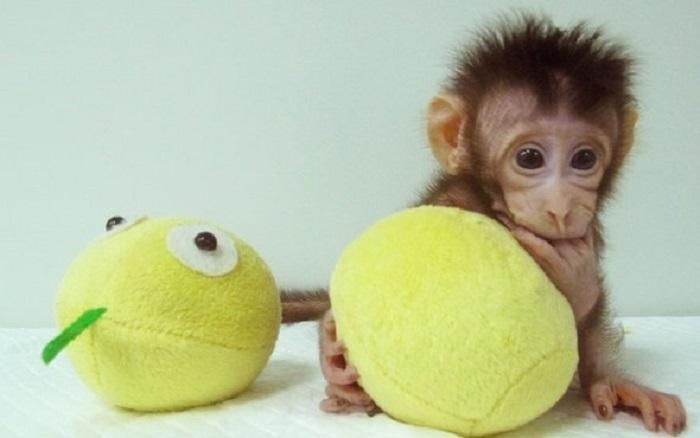 dolly yontemiyle olusturulan ilk primat klonlari - Dolly Yöntemiyle Oluşturulan İlk Primat Klonları