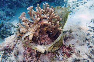 plastik atiklar mercan resiflerini tehdit ediyor 310x205 - Plastik Atıklar, Mercan Resiflerini Tehdit Ediyor