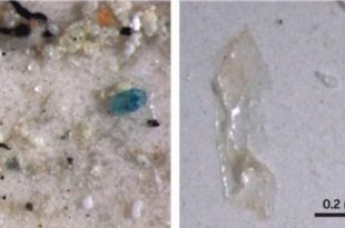 cinde masa tuzunda plastikten minik parcalar bulundu 310x205 - Çin'de Masa Tuzunda Plastikten Minik Parçalar Bulundu
