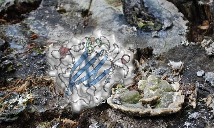 Selülozik Biyokütlelerden Yenilenebilir Enerji Elde Etmenin Sırrı Mantarlarda Saklı