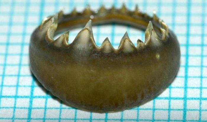 Kalamar Dişlerinden Esinlenilen Proteinler Kendini Yenileyebilen Tıbbi Cihazlara Yardımcı Olabilir
