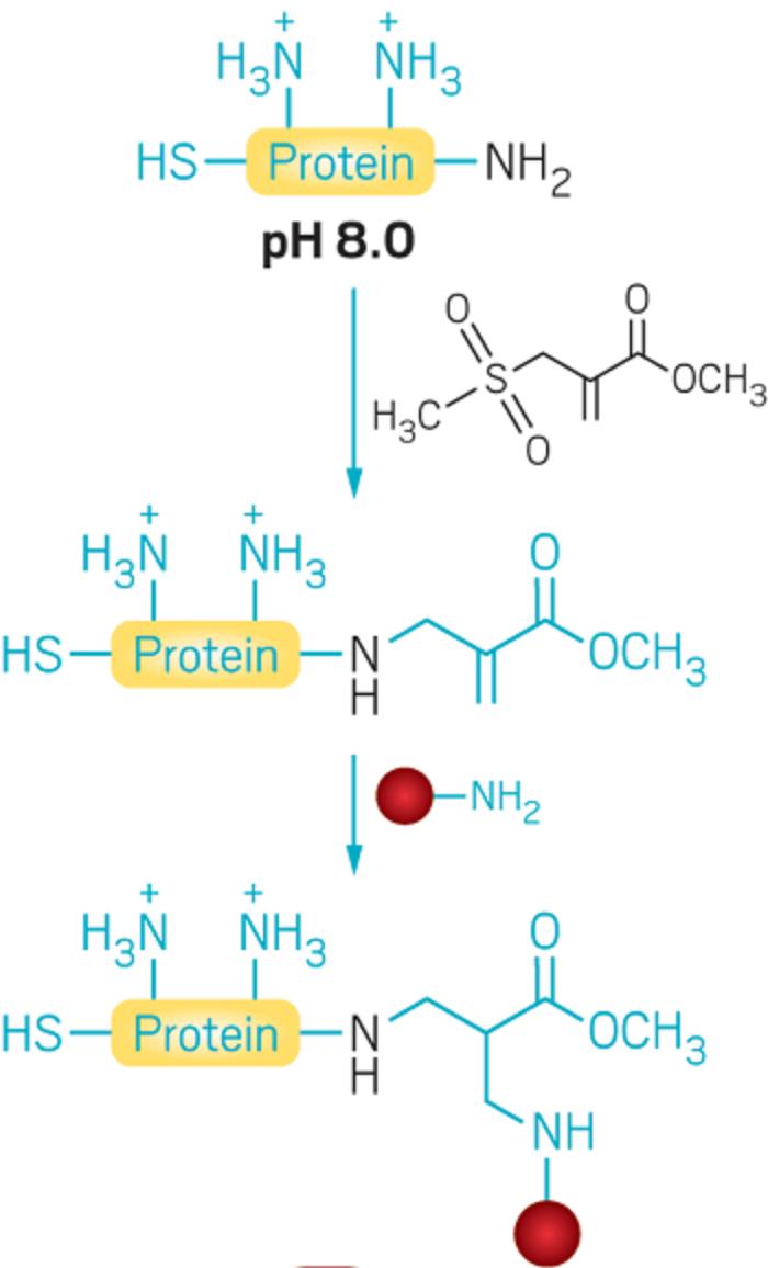 Protein Modifikasyonu İçin Bilgisayar Destekli Reaktif Lizin Tasarımı