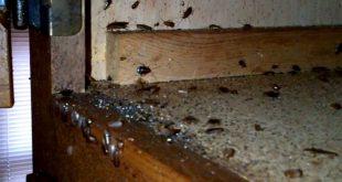 hamam boceklerini oldurmek neden zordur 310x165 - Hamam Böceklerini Öldürmek Neden Zordur?