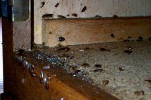 hamam boceklerini oldurmek neden zordur 310x205 - Hamam Böceklerini Öldürmek Neden Zordur?