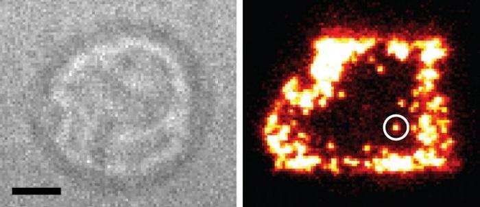 İmmünoloji Araştırması T Hücre Antijen Reseptörlerinin Tek Başına Çalıştığının Görülmesinden Sonra Değişime Hazır