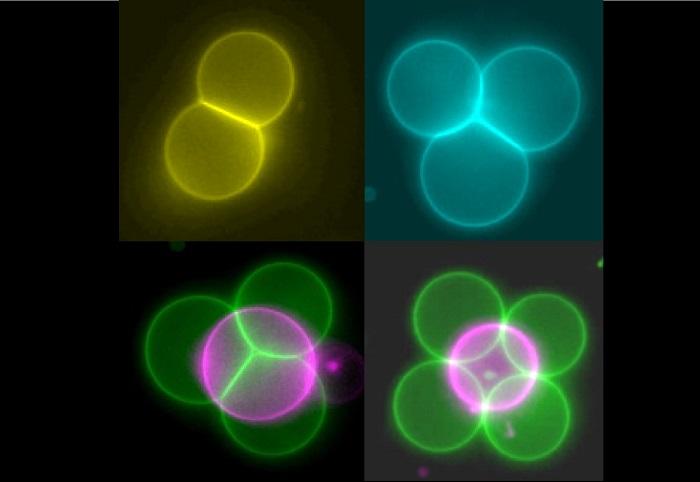 Mini Çekici Işınlar Yapay Hücrelerin Doku Yapılarına Düzenlenmesine Yardımcı Olur