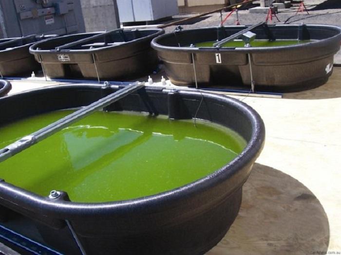 yosundan biyoenerji uretildi 1 - Yosundan Biyoenerji Üretildi