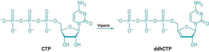 İnsan Enzimleri Antviral Özellikli Küçük Moleküller Üretiyor