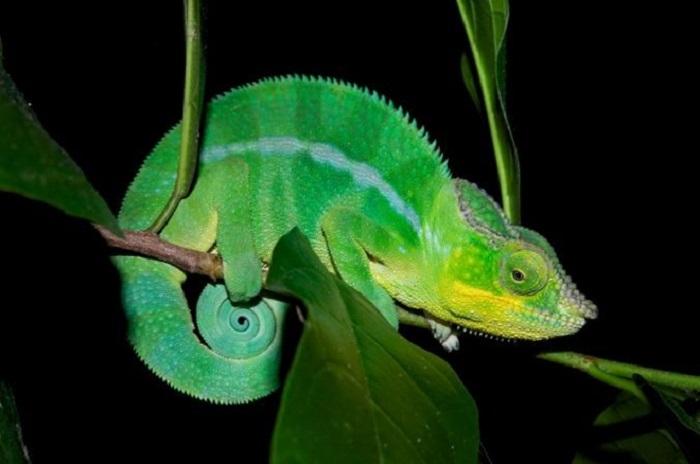 bukalemunlar neden ve nasil renk degistiriyor - Bukalemunlar Neden ve Nasıl Renk Değiştiriyor?
