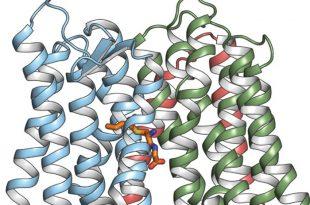 calisma vucut koku oncusunu tasiyan proteinin yapisini ortaya cikariyor 310x205 - Çalışma, Vücut Koku Öncüsünü Taşıyan Proteinin Yapısını Ortaya Çıkarıyor
