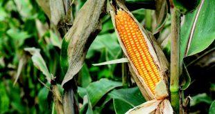 tohum ortaklari fotosentez karakterini ortaya cikariyor 310x165 - Tohum Ortakları Fotosentez Karakterini Ortaya Çıkarıyor