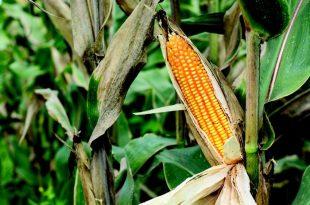 tohum ortaklari fotosentez karakterini ortaya cikariyor 310x205 - Tohum Ortakları Fotosentez Karakterini Ortaya Çıkarıyor