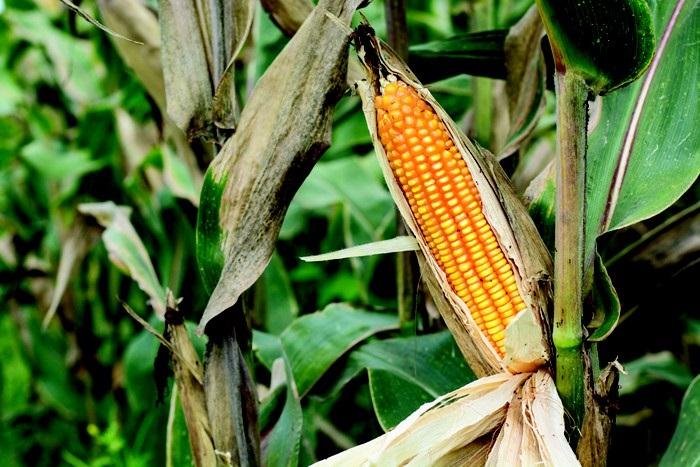 tohum ortaklari fotosentez karakterini ortaya cikariyor - Tohum Ortakları Fotosentez Karakterini Ortaya Çıkarıyor