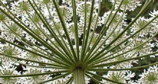 istilaci dev tavsancilotunun gunes isigi ile aktiflesen bitki ozu kabaran cilt yaniklarina neden oluyor 310x165 - İstilacı Dev Tavşancılotunun Güneş Işığı ile Aktifleşen Bitki Özü, Kabaran Cilt Yanıklarına Neden Oluyor