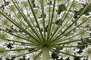 istilaci dev tavsancilotunun gunes isigi ile aktiflesen bitki ozu kabaran cilt yaniklarina neden oluyor 310x205 - İstilacı Dev Tavşancılotunun Güneş Işığı ile Aktifleşen Bitki Özü, Kabaran Cilt Yanıklarına Neden Oluyor