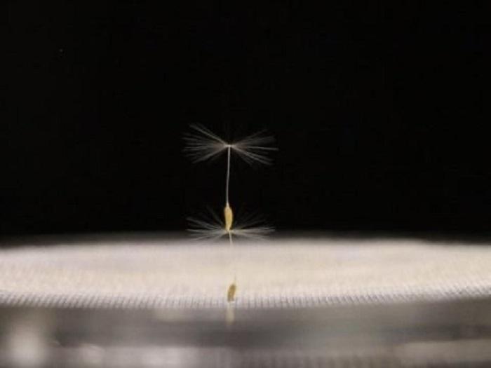 karahindiba tohumlari yeni kesfedilen dogal ucus seklini gozler onune seriyor - Karahindiba Tohumları Yeni Keşfedilen Doğal Uçuş Şeklini Gözler Önüne Seriyor