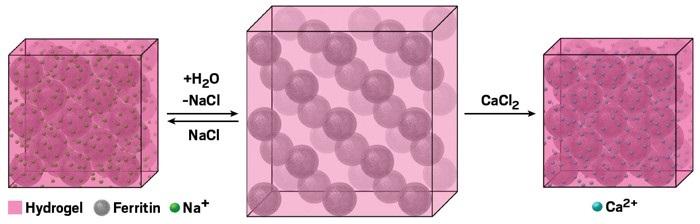 Protein-Hidrojel Kristali Genişler ve Daralır