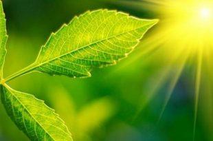 bilim insanlari bitkilerin daha fazla fotosentez yapmasini saglayan bir yontem gelistirdi 310x205 - Bilim İnsanları, Bitkilerin Daha Fazla Fotosentez Yapmasını Sağlayan Bir Yöntem Geliştirdi